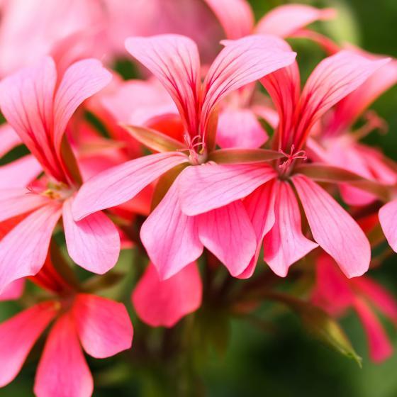Sommerblumen-Sortiment Hänge-Geranien, 6 Stück | #6