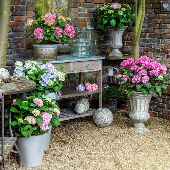 Hortensie Endless Summer® The Original, rosa, XL-Qualität | #6