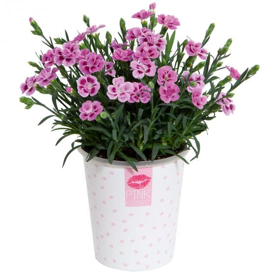 "Topfnelke ""Pink Kisses"" im Deko-Wasserspeichertopf | #6"