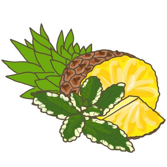Blu Bio-Kräuterpflanze Ananasminze | #6
