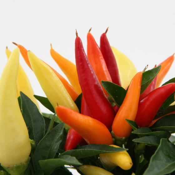 Blu Bio-Gemüsepflanze Chili Naschzipfel | #6