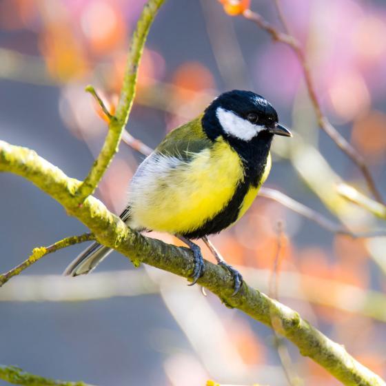 Ganzjahres-Meisenknödel für Wildvögel, ohne Netz, 6 Stück | #6