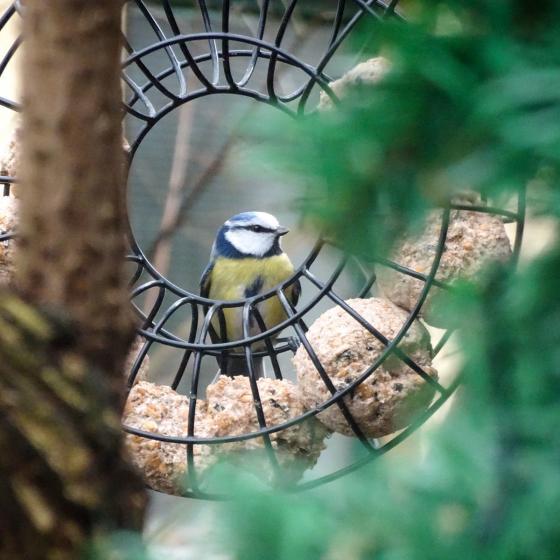 Meisenknödel mit Beeren für Wildvögel, ohne Netz, 6 Stück | #6