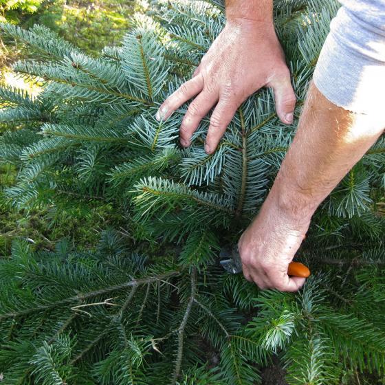 Weihnachtsbaum Nordmanntanne 60-80 cm mit Holzkreuz-Ständer | #7