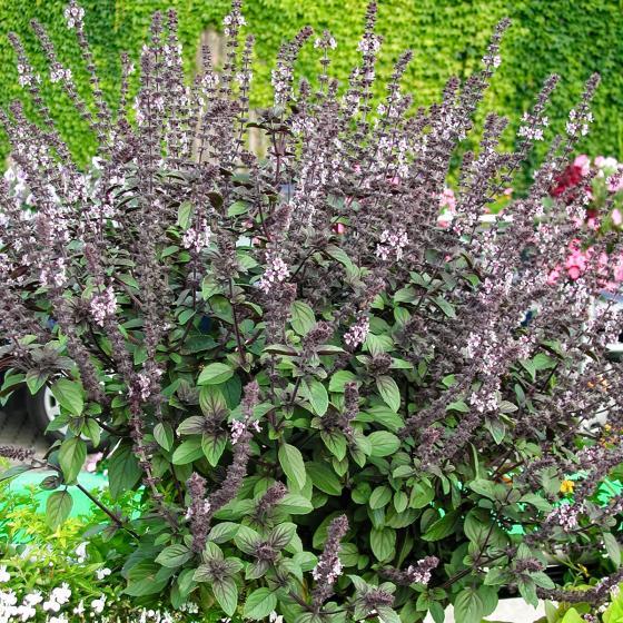 Küchenkräuterpflanze Basilikum Magic Blue, im ca. 12 cm-Topf | #7
