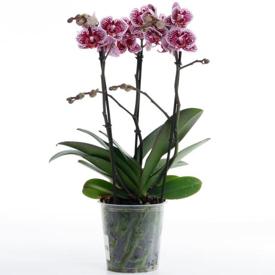 Schmetterlings-Orchidee Champion Swan inklusive Über- und Wasserspeichertopf | #7