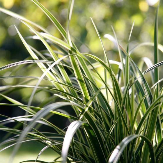 Gräser-Sortiment Herbst-Spezial | #7
