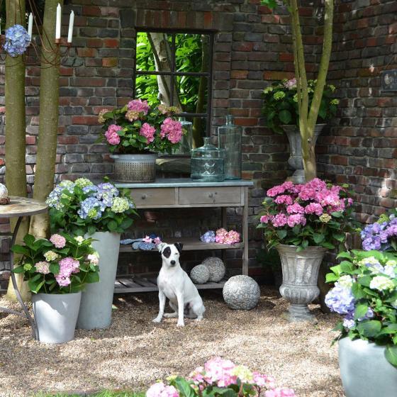 Hortensie Endless Summer® The Original, rosa, XL-Qualität | #7