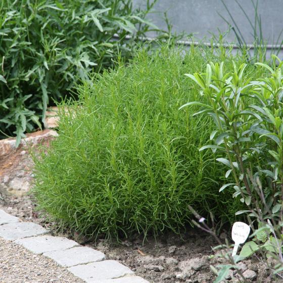 Kräuterpflanze Olivenkraut Olivia, im ca. 12 cm-Topf | #7