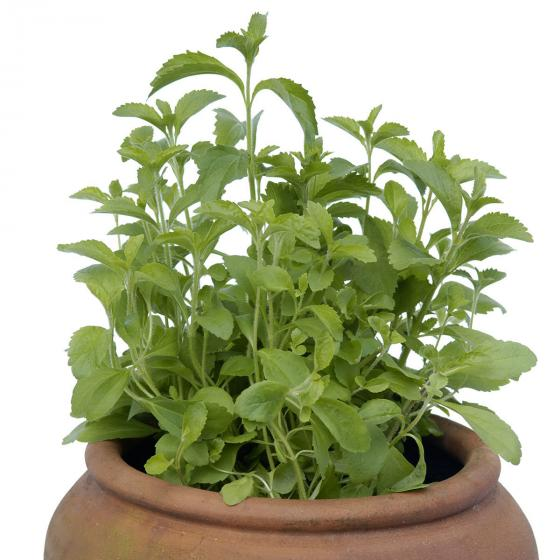 Kräuterpflanze Stevia Sweety, im ca. 12 cm-Topf | #7