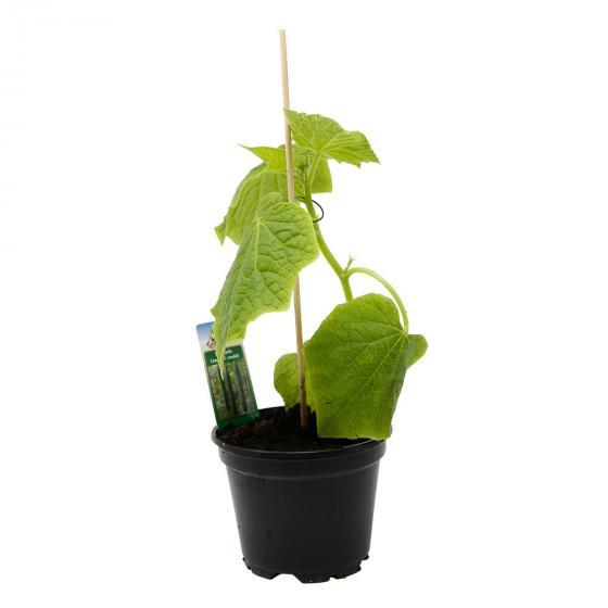 Gurkenpflanze Loustik F1, veredelt | #7