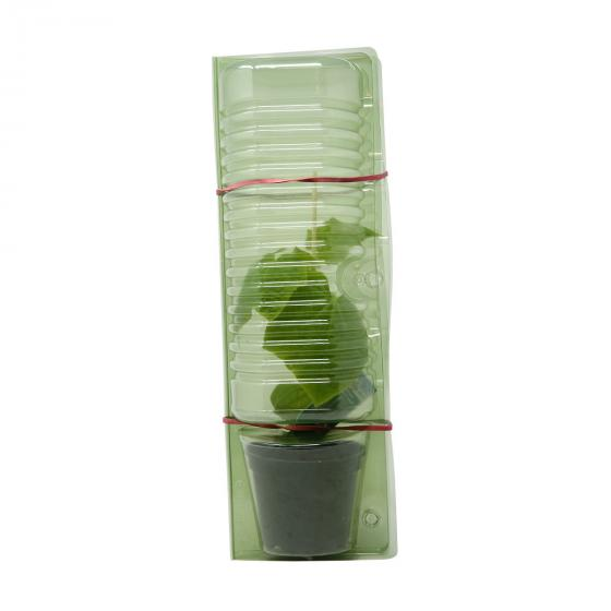 Gurkenpflanze Loustik, veredelt, im ca. 11 cm-Topf | #7