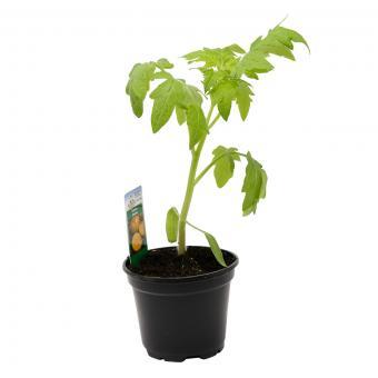 Tomatenpflanze Solena Sweet Red, veredelt, im ca. 12 cm-Topf | #8