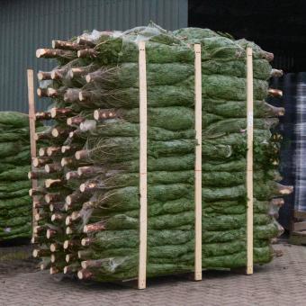 Weihnachtsbaum Nordmanntanne 60-80 cm mit Holzkreuz-Ständer | #8