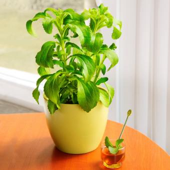 Kräuterpflanze Stevia Sweety, im ca. 12 cm-Topf | #8