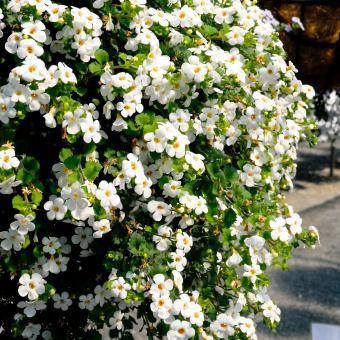 Weiße Schneeflockenblume, im ca. 11 cm-Topf | #8