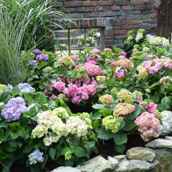 Hortensie Endless Summer® The Original, rosa, XL-Qualität | #8