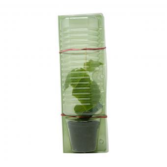 Gurkenpflanze Loustik F1, veredelt | #8