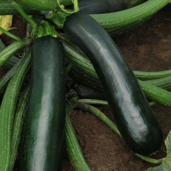 BIO Gemüsepflanze Balkon-Zucchini, im ca. 12 cm-Topf | #9