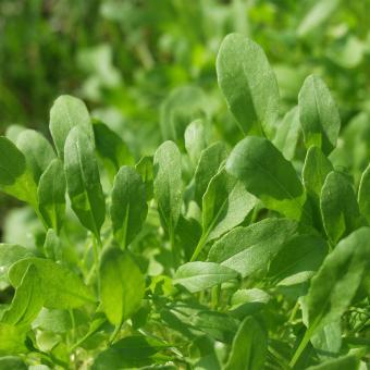 Saatgut-Holzbox Salatvielfalt, 7 Saatgut-Sorten | #9