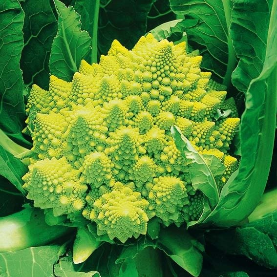 Blumenkohlsamen Romanesco Navona F1