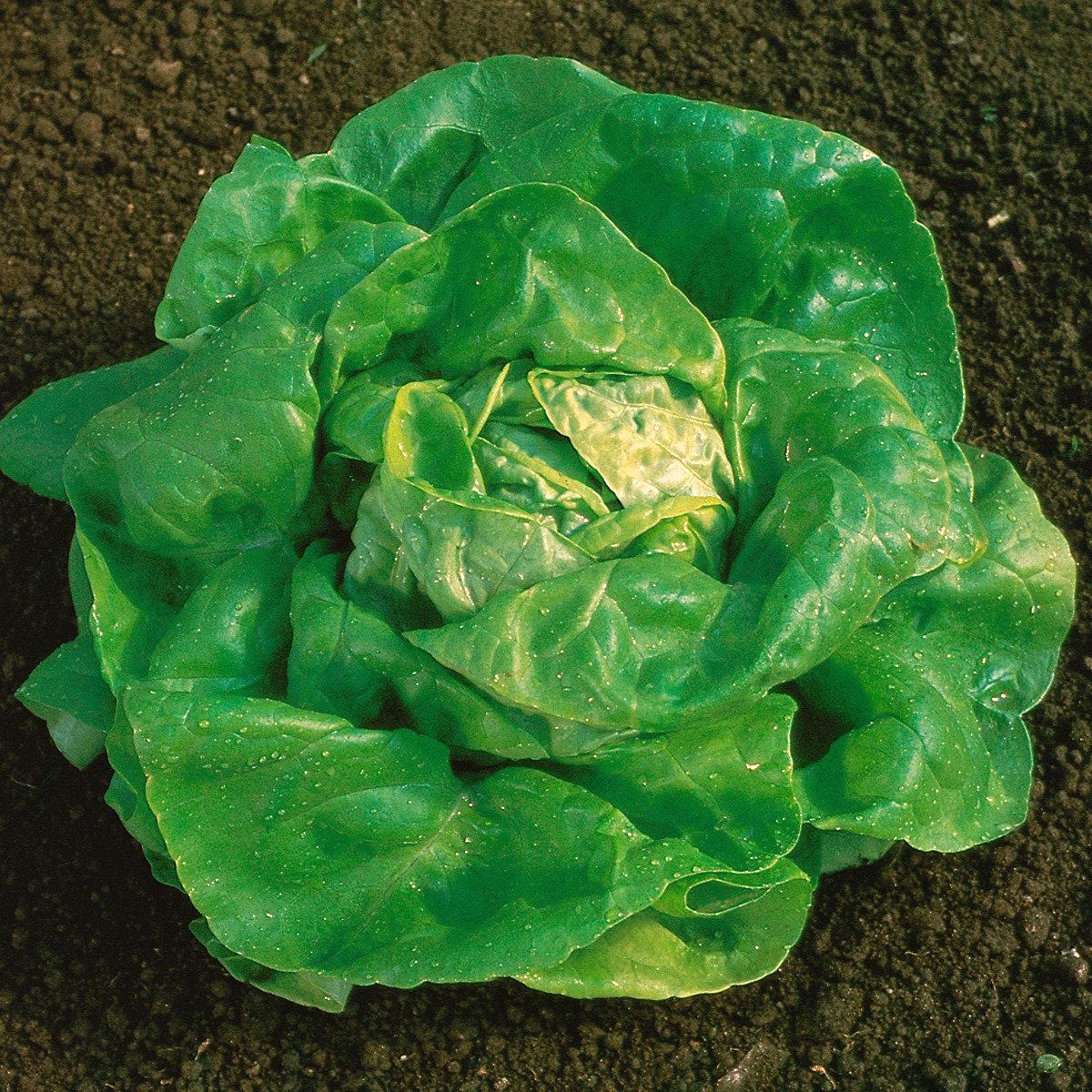 Treib-Kopfsalatsamen Larissa