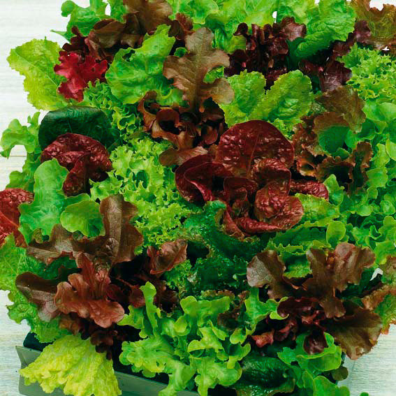 Samenmischung Pflücksalat Baby-Leaf