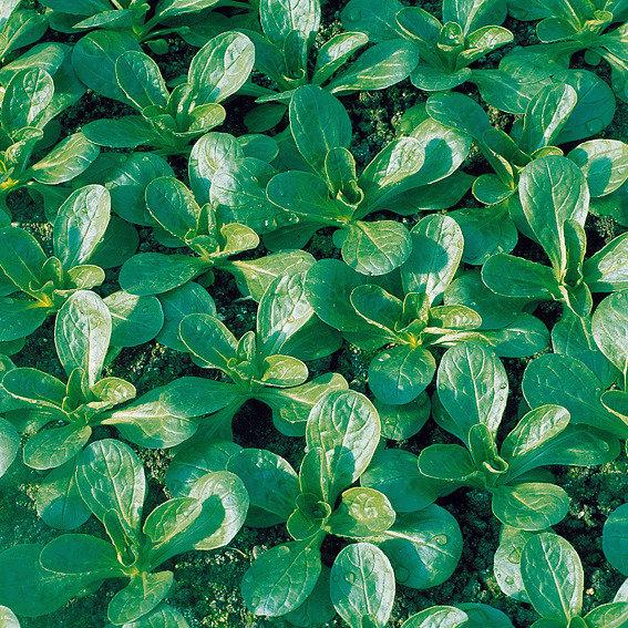 Feldsalatsamen Vit 10 g, Inkrusaat