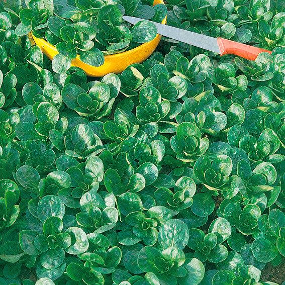Salatsamen Feldsalat Medaillon