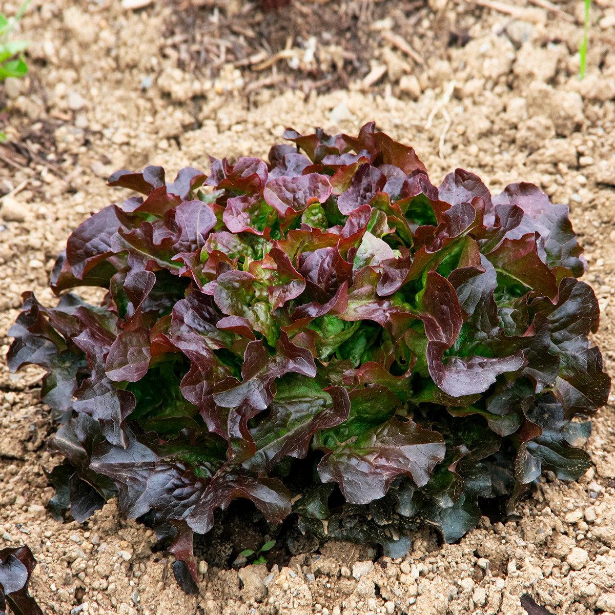 Salatsamen Eichblatt- und Pflücksalat Saxo