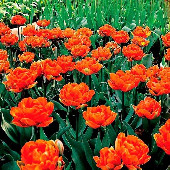 Tulpe Willem van Oranje