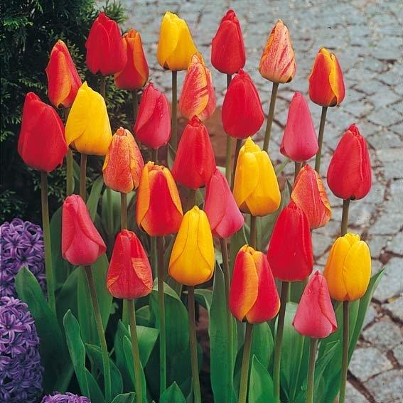 darwin hybrid tulpen mischung online kaufen bei g rtner p tschke. Black Bedroom Furniture Sets. Home Design Ideas