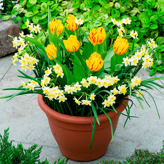 Pflanz-Tray Ready to Plant Tulpen und Narzissen
