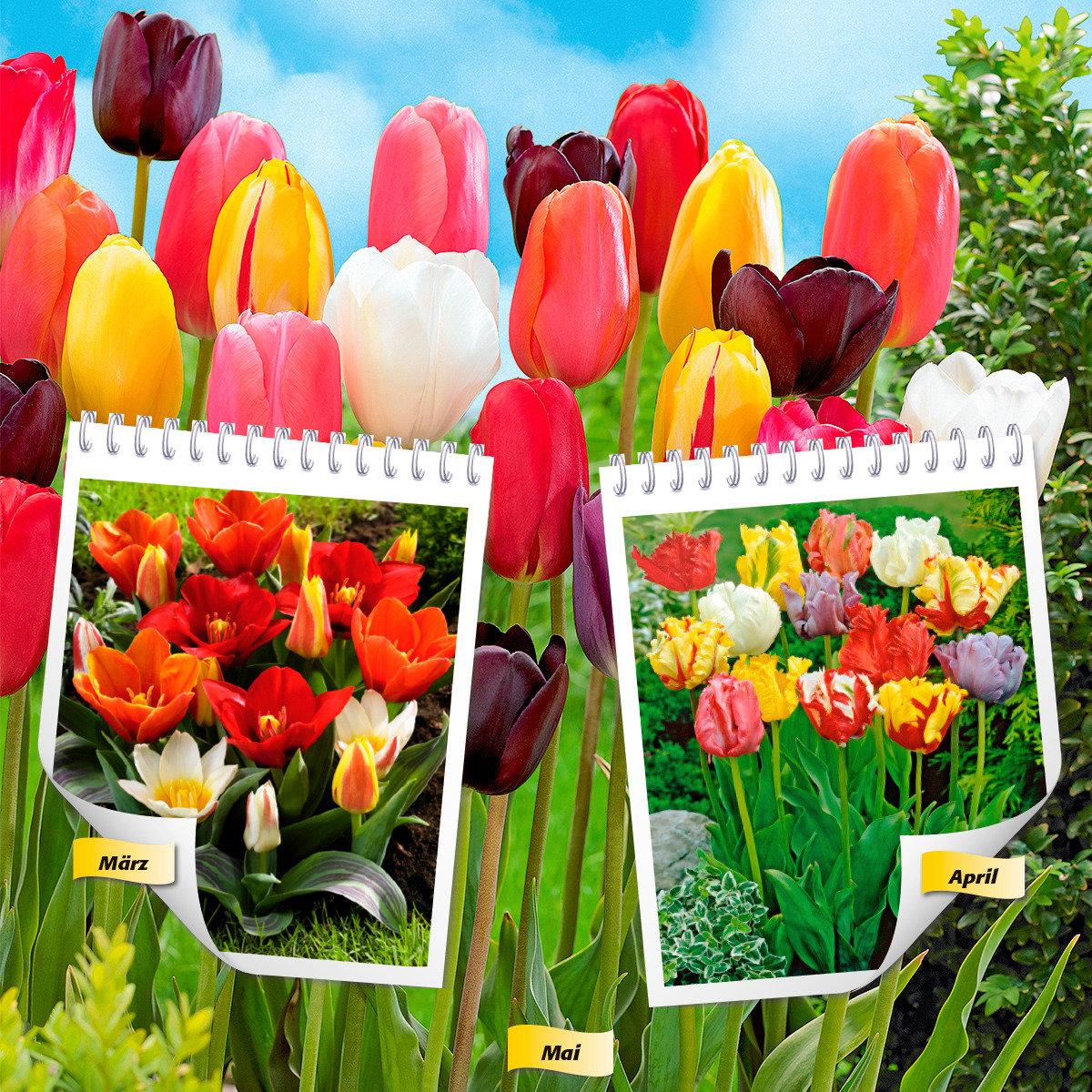 Blumenzwiebel-Sortiment 12 Wochen Tulpen-Blüte