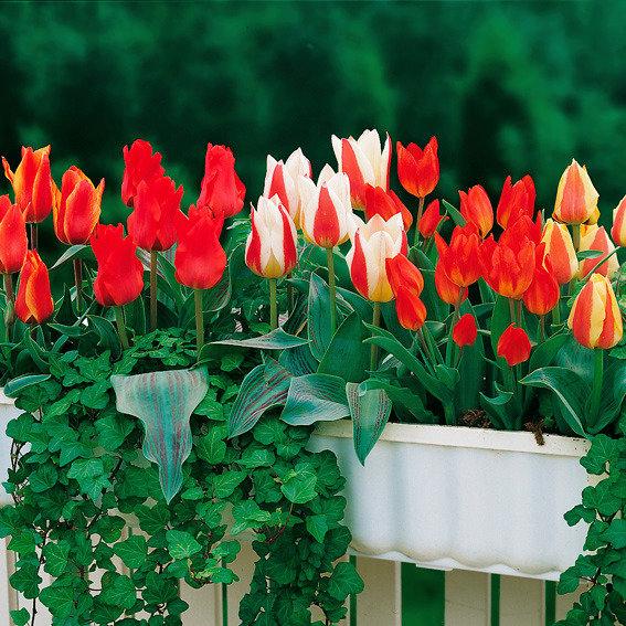 Sortiment Bunte Blumenkasten-Tulpen