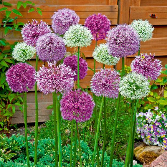Blumenzwiebel-Sortiment Riesen-Zierlauch