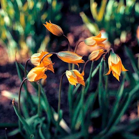 Tulpe Sylvestris