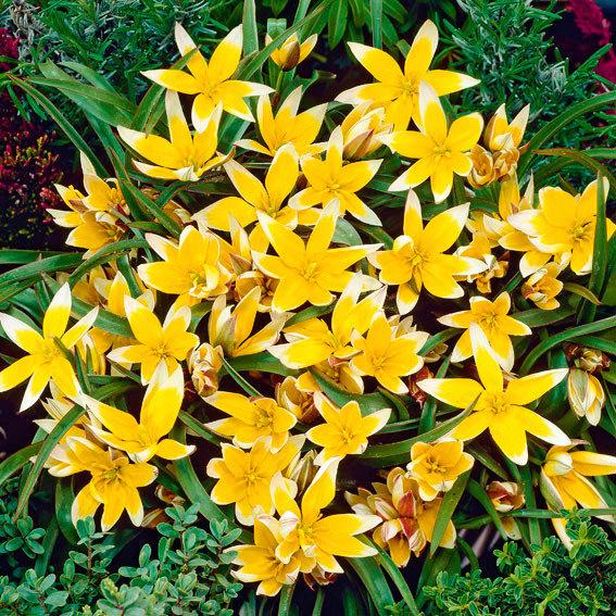 Tulpe Tarda