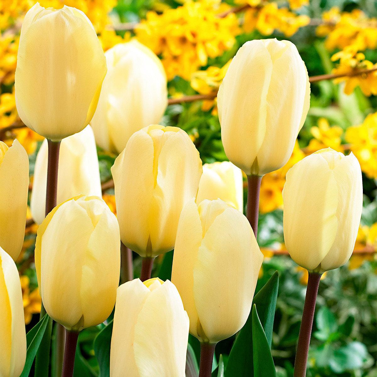 Tulpe Vanilla Cream