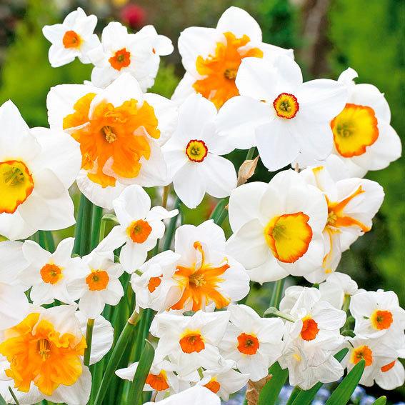 Narzissen Frühlings-Mischung Weiß und Orange