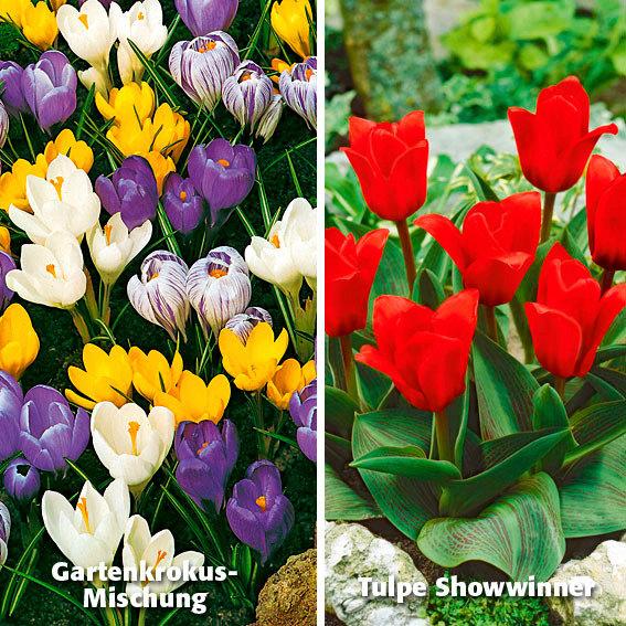Sortiment Garten-Krokus-Mix und Tulpe Showwinner