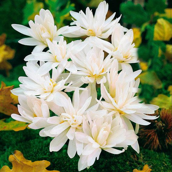 Herbst-Zeitlose Album Flora Plena, gefüllt