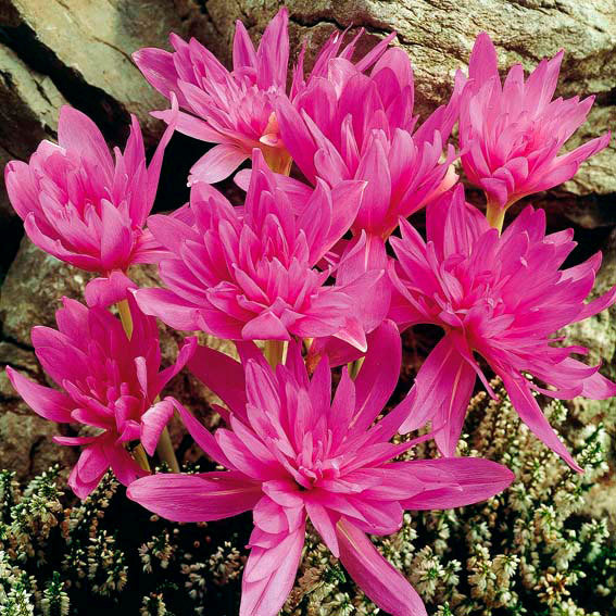 Herbst-Zeitlose Waterlily, gefüllt