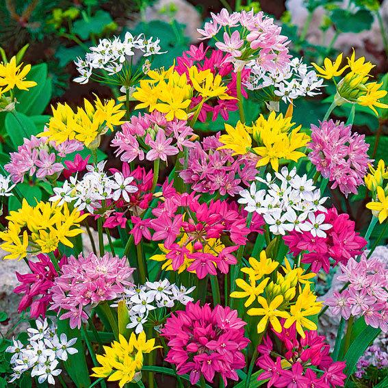 Blumenzwiebel-Sortiment Zwerg-Zierlauch