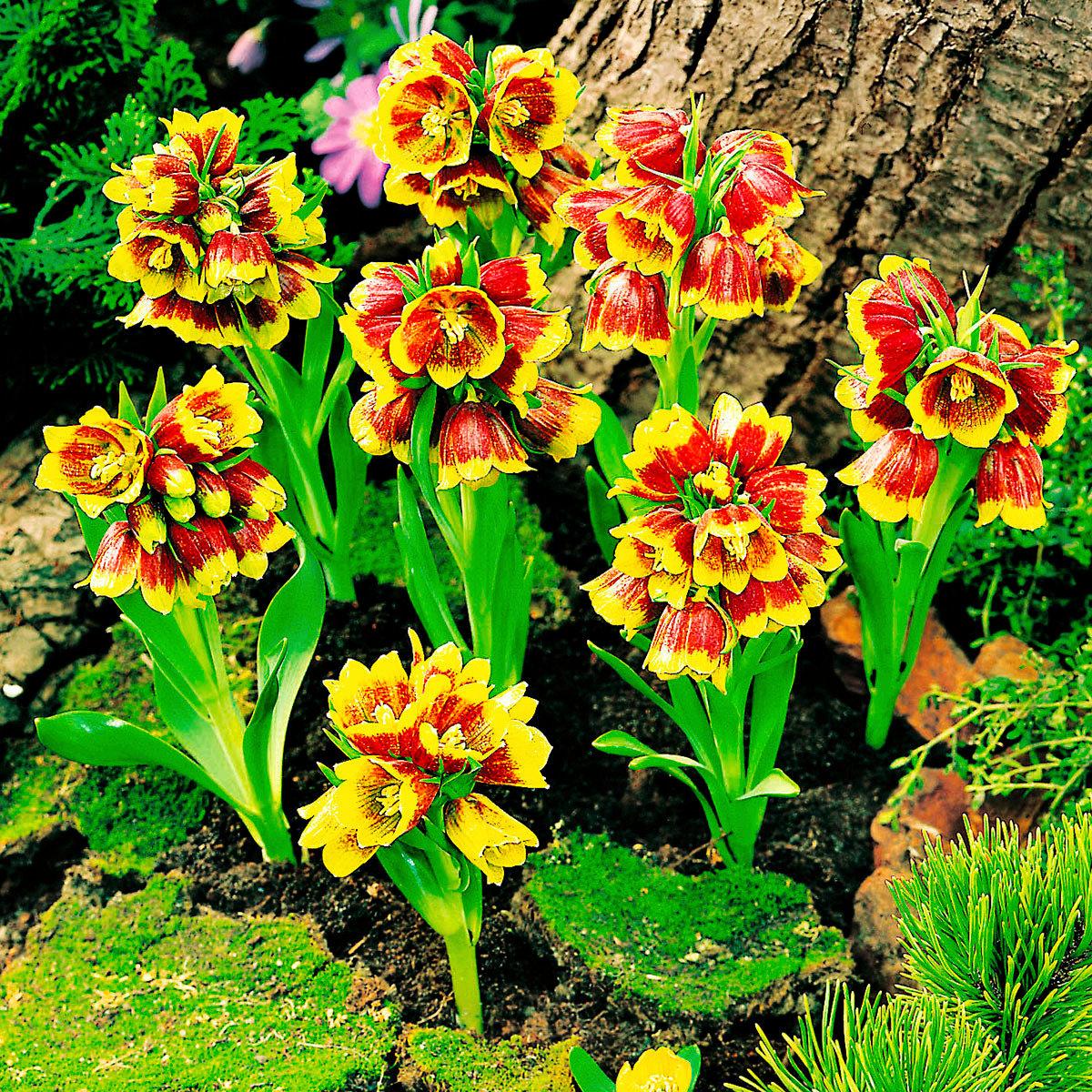 Vielblütige Glockenlilie Multiflora