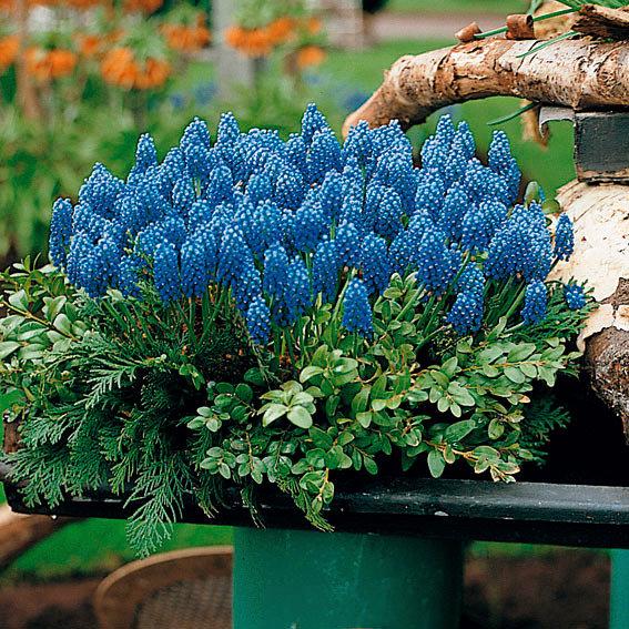 Traubenhyazinthe, blau