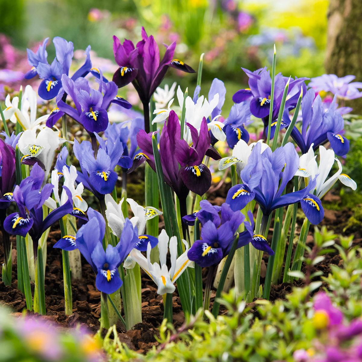 Frühlings-Zwerg-Iris-Mischung