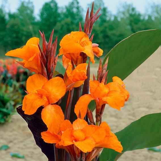 Canna Liberte (Indisches Blumenrohr)