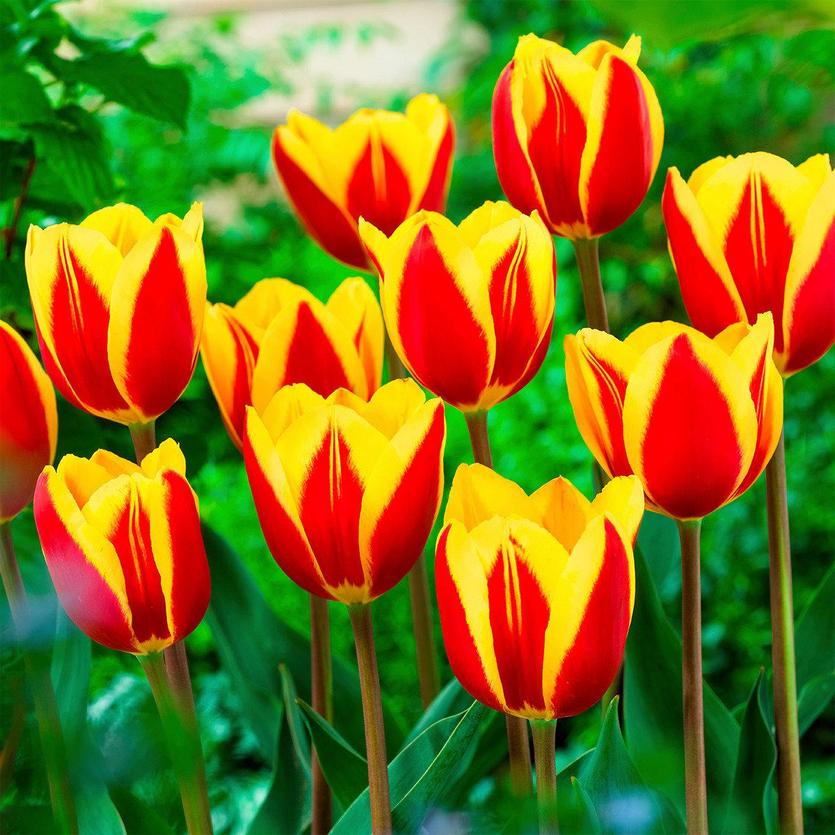 Gelbe Balkon Tulpe, 3 Stück, im ca. 10,5 cm-Topf