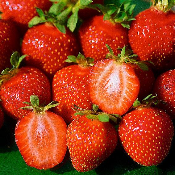 Erdbeere Mieze Schindler, Pflanzware 10er Tray, im ca. 6 cm-Topfballen